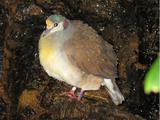 Sulawesi Ground-Dove
