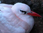 Red-tailed Tropicbird small