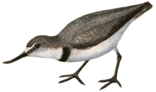 Wrybill