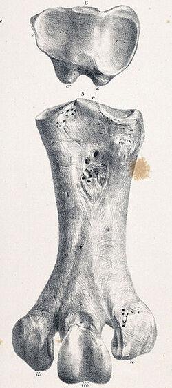 Pachyornis geranoides