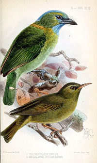 Golden-naped Barbet and Black Mountaineye