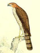 Accipiter francesii brutus 1868