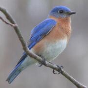 Eastern Bluebird-27527-2