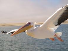 Pelican Walvis Bay