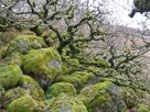 Wistman's Wood in winter