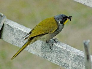 Yellow throated honeyeater with insect