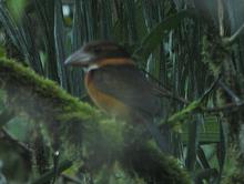 Shovel-billed Kookaburra cropped