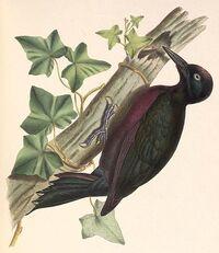 Melanerpes herminieri 1849