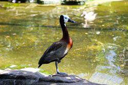 Dendrocygna viduata -London Zoo, England-8a