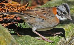 Rufous-collared Sparrow1