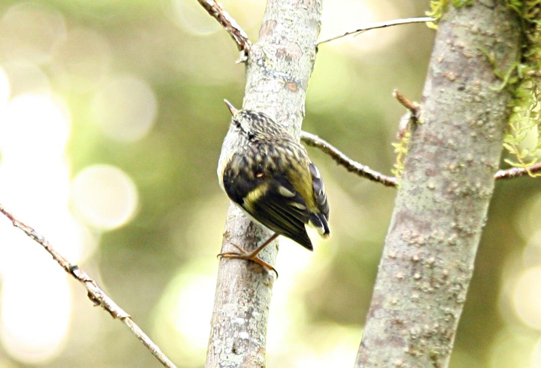 Taxonomic List Of Passeriformes Families