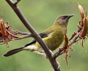Anthornis melanura -New Zealand-8
