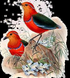 BirdsAsiaJohnGoVGoul 0284