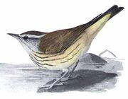 Seiurus motacillaEMP17CB