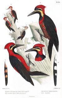 Crimson-bellied Woodpecker