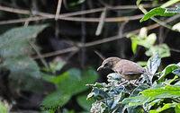 Abbotts Babbler (Malacocincla abbotti)