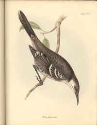 Floreana Mockingbird art