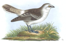 White-rumped Snowfinch