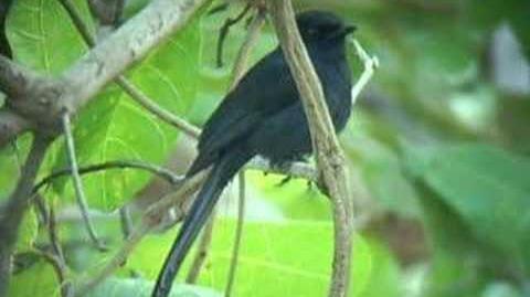 Northern Black Flycatcher (Melaenornis edolioides)