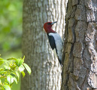 Melanerpes erythrocephalus -tree trunk-USA