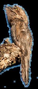 Common Potoo on stump