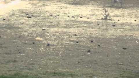 Meadowlarks, Sturnella cf