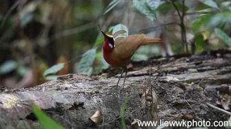 Malaysian Rail-Babbler liewwk