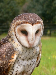 Masked owl mask4441