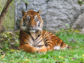 Panthera tigris sumatran subspecies