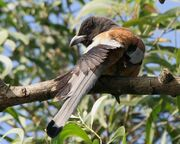 Rufous Treepie I IMG 9850