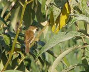 African Reed Warbler (Acrocephalus baeticatus) from behind, looking to the right