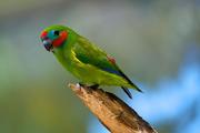 Cyclopsitta diophthalma -Birdworld Kuranda, Queensland, Australia -male-8a