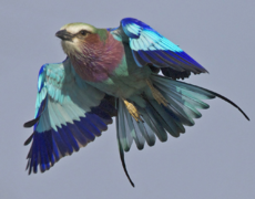 Lilac-breasted Roller in Botswana