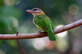 White-CheekedBarbet