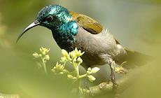 Greenheadsunbird