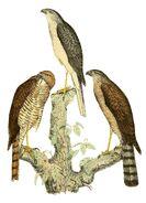 Accipiter francesiae 1868 (2)