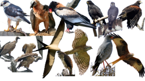 Accipitridae diversity