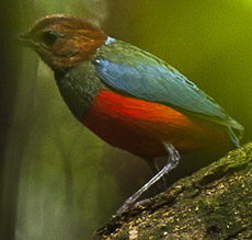 Northern Red-bellied Pitta - Luzon - Philippines H8O8963 (16302644044)