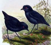 Melampitta lugubris by John Gould-cropped