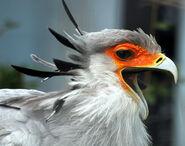 Secretary Bird with open beak