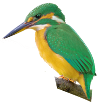Green-and-gold Kingfisher