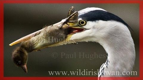 Hungry Predators Eat Ducklings..