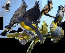 Ptiliogonatidae diversity