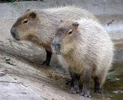 Bristol.zoo.capybara.arp