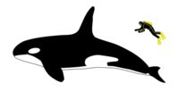 Orca size-2