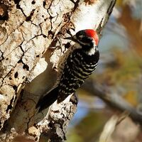 Picoides nuttallii -Olive View, Sylmar, California, USA -male-8