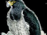 Barred Hawk