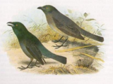 Lord Howe Starling