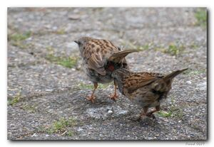Cloacal pecking of the Dunnock