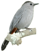 Grey Catbird